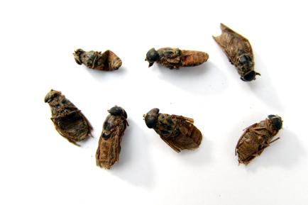 虻虫 第十九篇:虫类及动物药